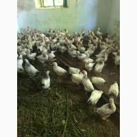 Пророщенные цыплята
