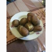 Продам картошку, Продам Картофель, Продам картоплю