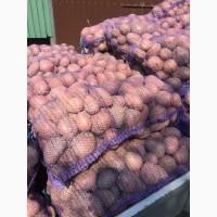 Продам товарну картоплю, сорт Альвара, Бельмонда, Ред Леді