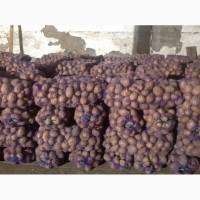 Продам товарный картофель, сорт Скарбниця урожай 2018г
