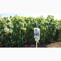 Семена подсолнечника под Евролайтинг НС Имисан Технология выращивания Clearfield