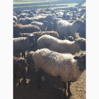 Продам стадо овец романовская порода 130 голов