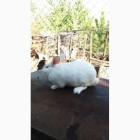 Термонська біла, Термонці кролі