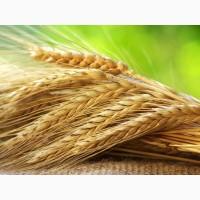 Продам жито