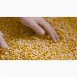 Дорого закуповуємо на постійній основі кукурудзу (яка не відповідає показникаам )