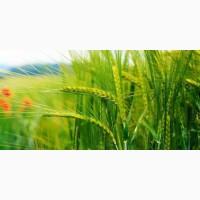 Закупка жито ( рожь )