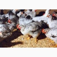 Цыплята 2х, 3х, 4хнедельные Мастер Грей, Фокси Чик, Голошейки