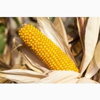 Насіння гібриду кукурудзи ВНІС АМАРОК 300 (фао 330) 2020 року урожаю