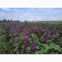 Продам насіння мальви мавританської, семена мальвы, Malva sylvestris seed, калачики
