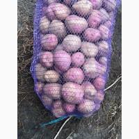 Продам посадкову картоплю Королева Анна, Гала (білі сорти) ред леді (рожева)