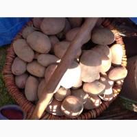 Продам велику домашню картоплю. Ціна 5 грн