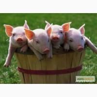 Осеменение свиней. Продажа семени.
