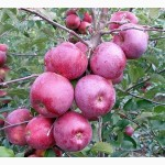 Продаємо яблука від виробника