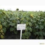 Семена подсолнечника Ясон, ФорвардF1 продам. Товар сертифицирован