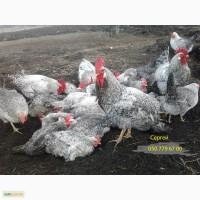 Продам инкубационное яйцо, цыплята Борковской барвистой
