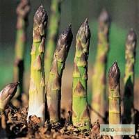 Продам саженцы, корневища белой и зеленой спаржи голландской селекции