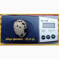 Яйца инкубационные перепела Феникс Золотистый (линия Франции)