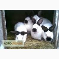 Продам продам кроликов порода Калифорния
