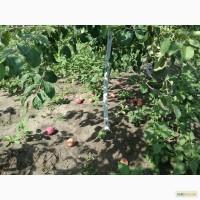 Куплю яблоки на переработку Винницкая и др.области, дорого