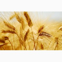 Купуємо пшеницю з поля, складів, господарств самовивозом
