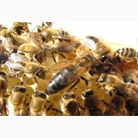 Продом бджолопакети, матки та бджолопродукти (Карпатська бджола)