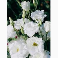 Продам семена Эустома АВС 1 F1 Белая крупноцветковая махровая