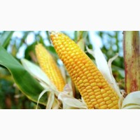 Канадские семена кукурузы skeena ff-199