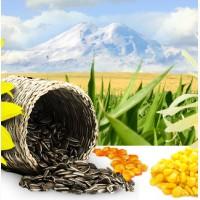 Семена высокого качества подсолнечник, кукуруза, эспарцет, люцерна, костер, суданка