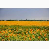 Якісне насіння соняшнику/гібриди під ГРАНСТАР/безкоштовна доставка