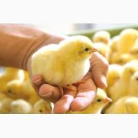 Покупайте с гарантией яйца инкубационные Фокси Чик