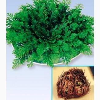 Иерихонская роза (растение)