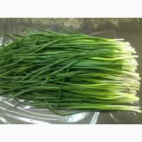 Продам лук зеленый (Харьковская область)