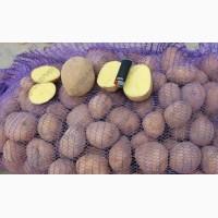 Картофель оптом от крупного сельхозпроизводителя Чувашии