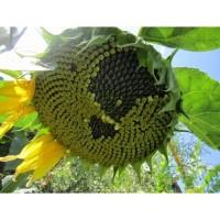Семена гибрида подсолнечника – СИ КУПАВА (SI KUPAVA) круизер «Сингента»