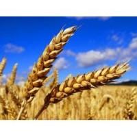 Семена пшеницы Гранус (двуручка)
