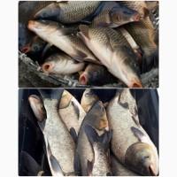 Риба товарна жива: короп товстолоб