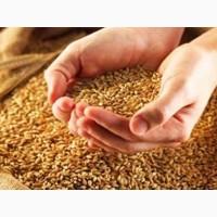 Кулю зерно