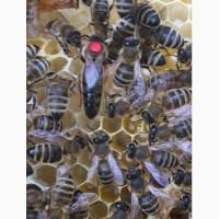 БДЖОЛОМАТКИ Карпатка Плідні матки 2021 (Пчеломатки, Бджоломатки, Бджолині матки)