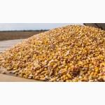 Закупляємо у сільхозвиробників кукурудзу з повишеною вологістю