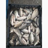 Живая рыба оптом от 1000т