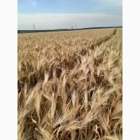 Семена твёрдой пшеницы Терра, Чадо, Династия и тд. - эл, 1реп