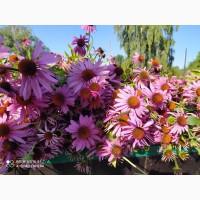 Продам насіння ехінацеї пурпурової, семена Эхинацеи, Echinacea seed