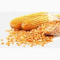 Закуповуємо кукурудзу з усіх областей України! Купуємо дорого, можливий самовивіз