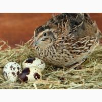 Продам печінки та перепелині яйця