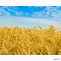 Куплю Пшеницу 2-6 класс._