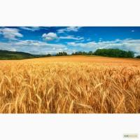 Покупка Ячменя, Пшеницы от 25 тонн.Запорожская, Херсонская области