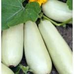 Продам весовые и пакетированные семена кабачков(оптом с первых рук от производителя)