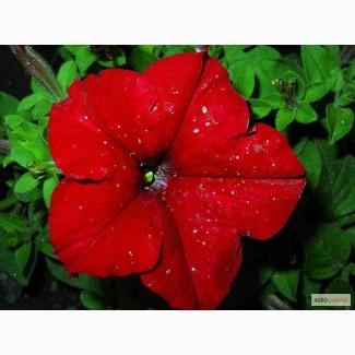 Продам очень красивую рассаду цветов петунии также есть кашпо