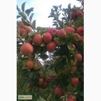 Продам яблука з власного молодого саду