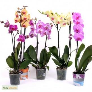 Орхідеї, азалії, цикламени.продам вазони (горшкові рослини)